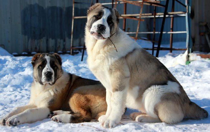 Среднеазиатские овчарки зимой