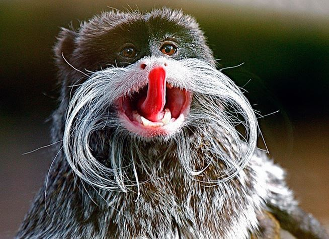 Бородатый императорский тамарин