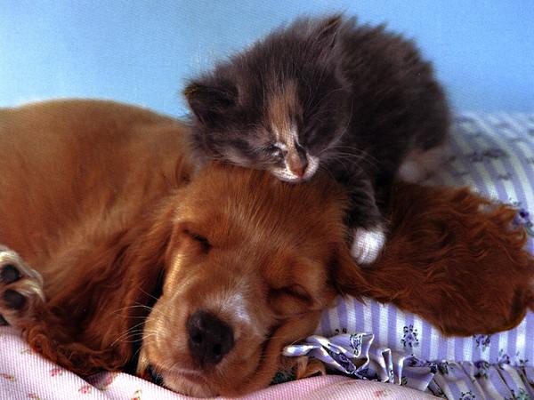 Котёнок спит на собаке