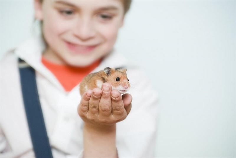 Хомячок для дошкольника — шесть категорических «нет»