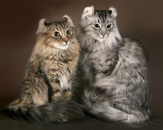 Кошки породы американский керл