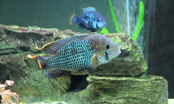Оформление аквариума для бирюзовой акары