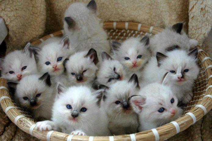 Пушистые котята в корзине