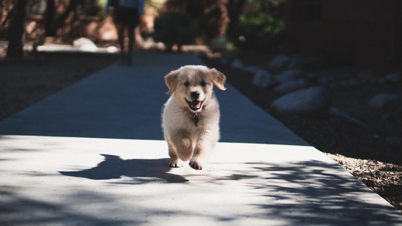 Здоровый и активный щенок