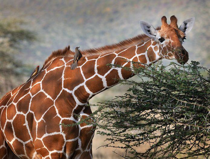 Мутуализм жирафа и птиц