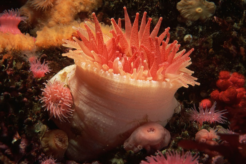 Морской обитатель актиния