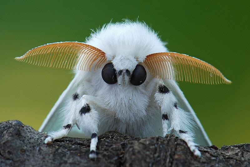 Венесуэльский пуделевый мотылек