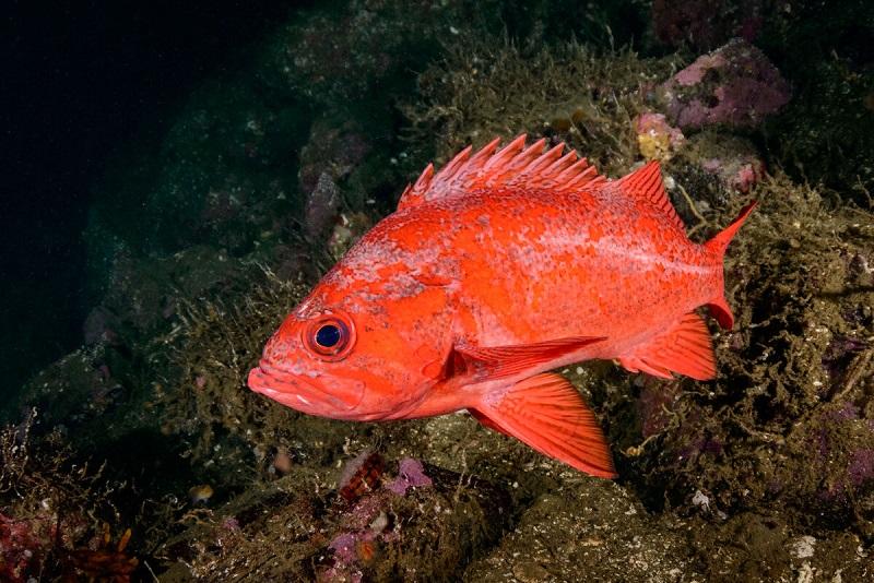 Алеутский морской окунь