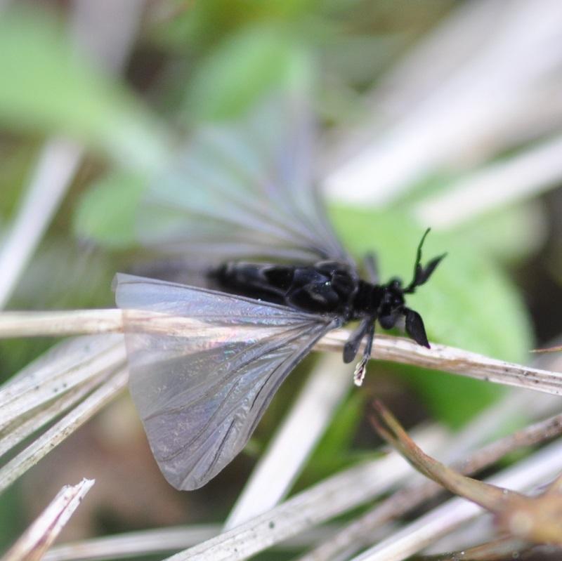 Личинки веерокрылых