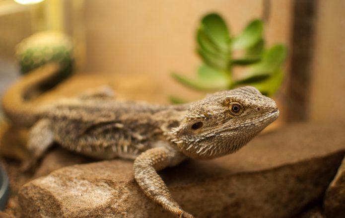 Болезни и лечение бородатой агамы