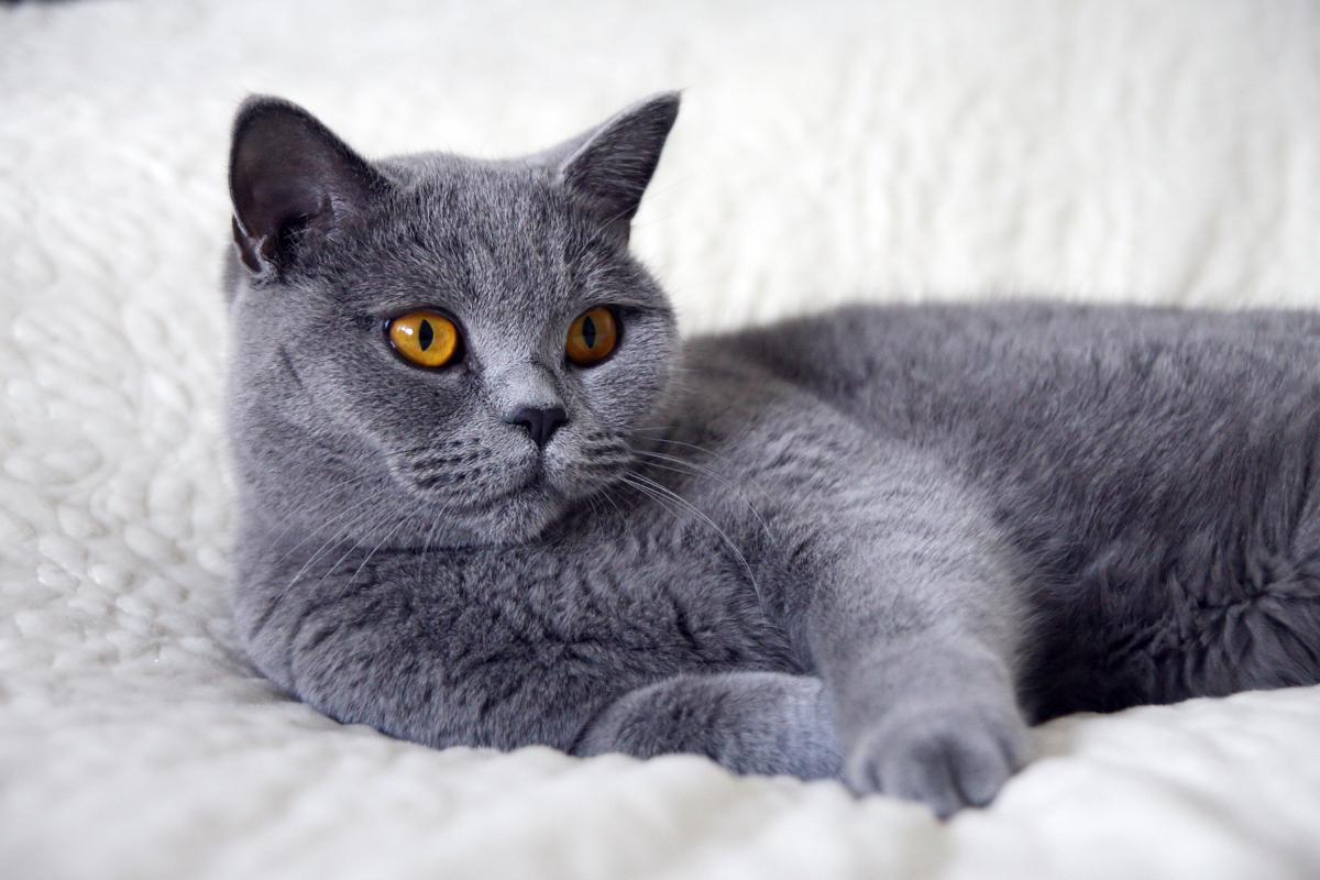 одна все картинки британских кошек каждого художника должны