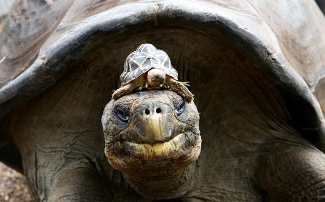 Галапагосская черепаха с детёнышем