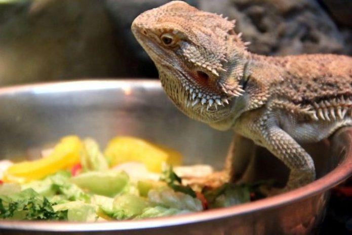 Чем кормить бородатую агаму