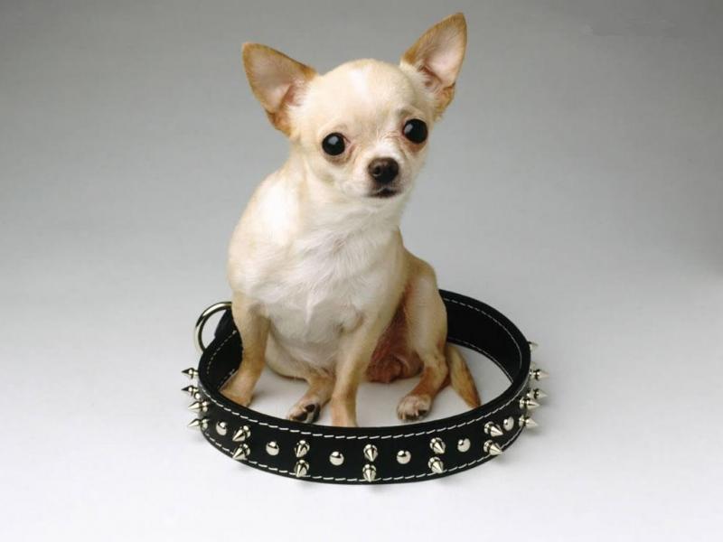 Что лучше для собаки — ошейник или шлейка