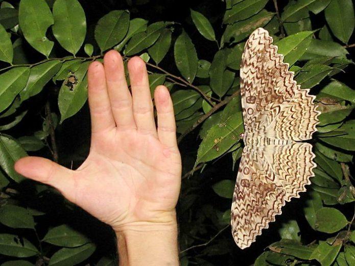 Размер Тизании агриппины по сравнению с человеческой рукой