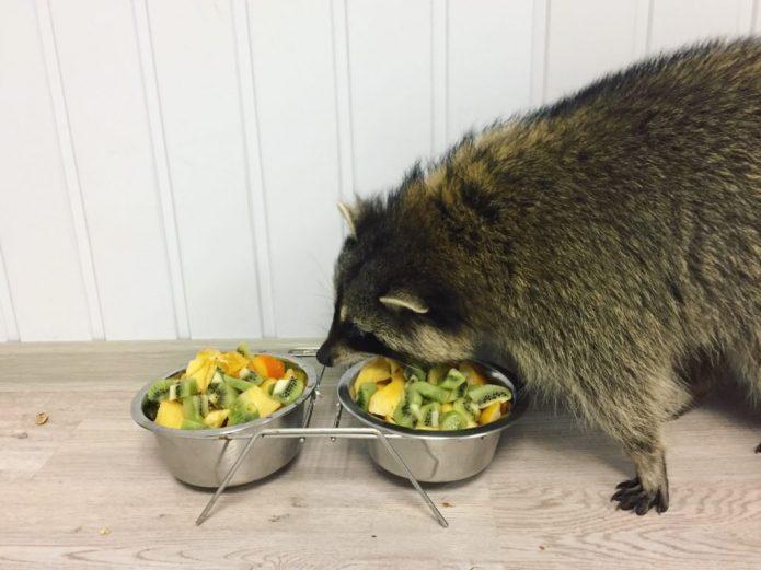 Домашний енот-полоскун ест фрукты
