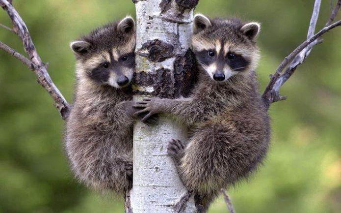 Еноты-полоскуны на дереве