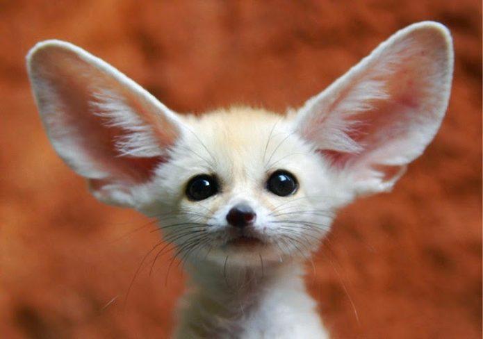 Фенек — самое милое животное мира