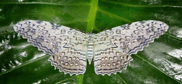 Самая большая бабочка в мире на листе растения
