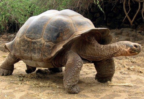 Галапагосская черепаха ползёт