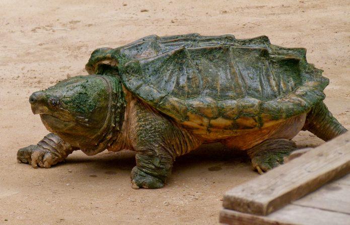 Самая большая пресноводная черепаха в мире