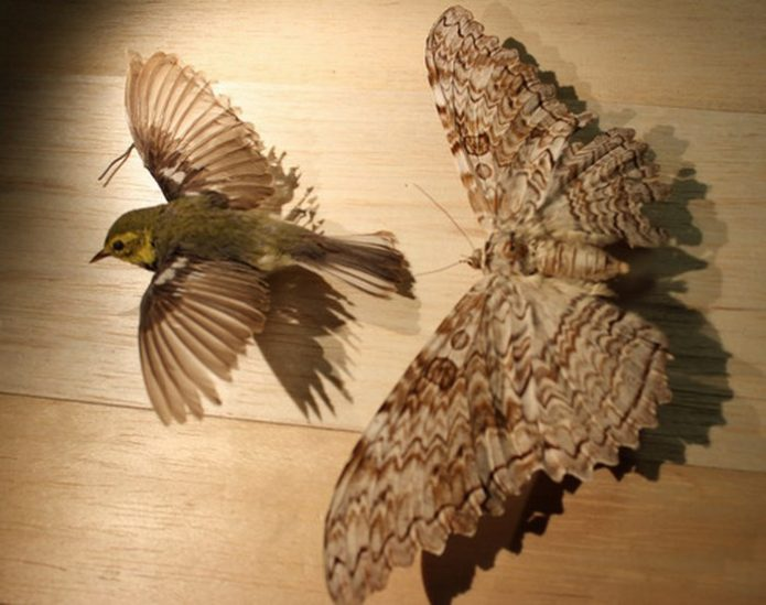 Тизания агриппина в сравнении с небольшой птицей