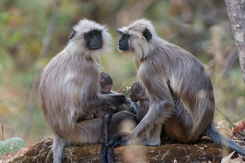 Тонкошёрстная обезьяна