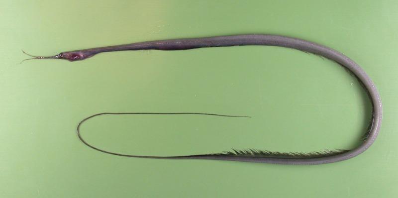 Нитехвостый угорь Nemichthys scolopaceus