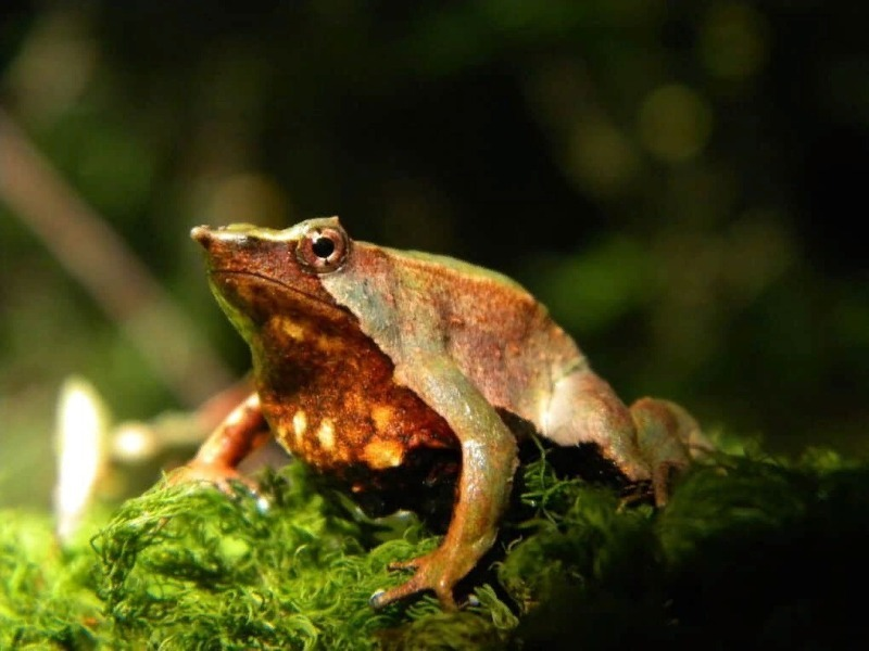 Лягушка Дарвина