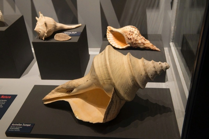 брюхоногий моллюск Syrinx aruanus