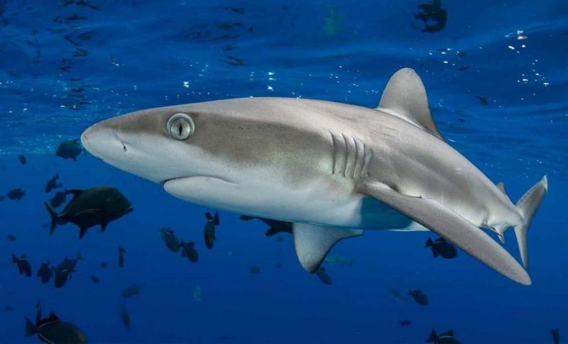 Акула из Галапагосских островов