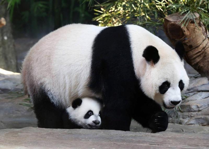 Гиганская панда