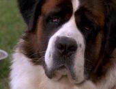 Какая порода собаки в фильме «Бетховен»