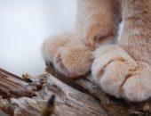 кошачьи лапки