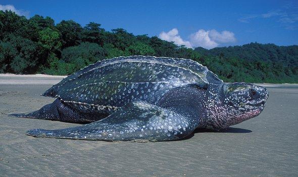 Крупнейшая кожистая черепаха