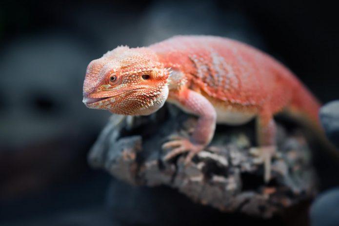 Красная бородатая агама