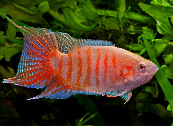 Красная райская рыбка