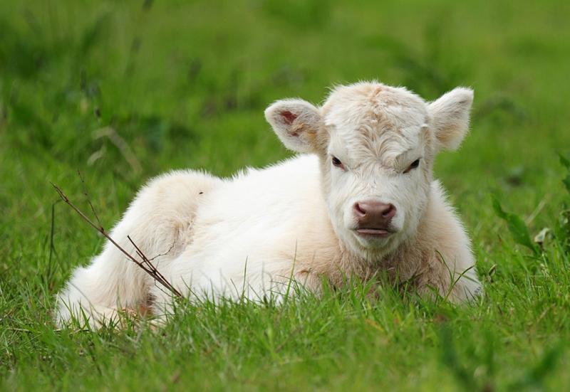 Плюшевые коровы из Айовы — животные или игрушки?