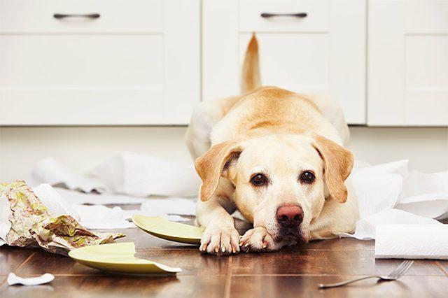 Пёс разбил посуду