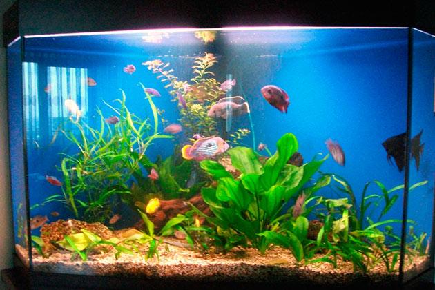 Бирюзовая акара в общем аквариуме