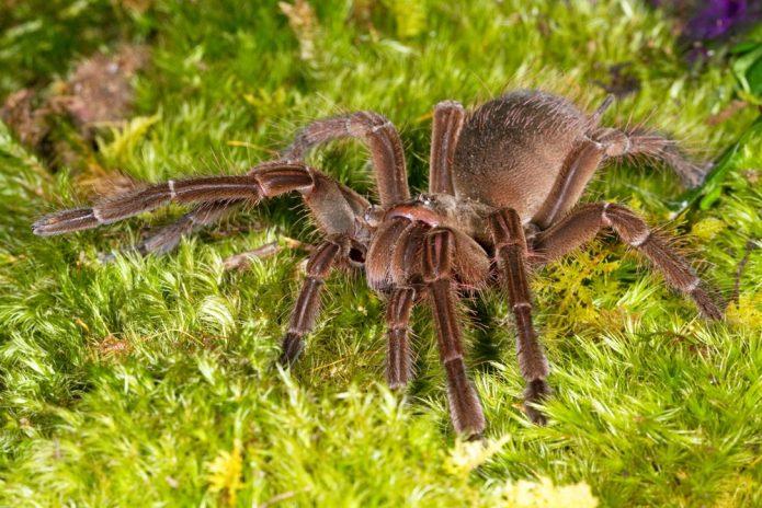 Самый большой паук в мире — птицеед-голиаф