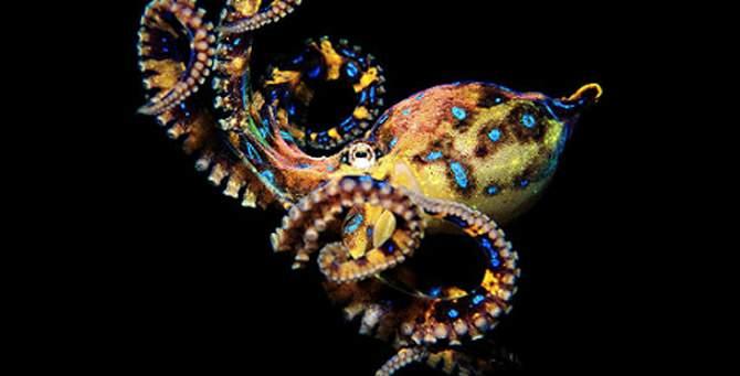 Кольцевидный осьминог