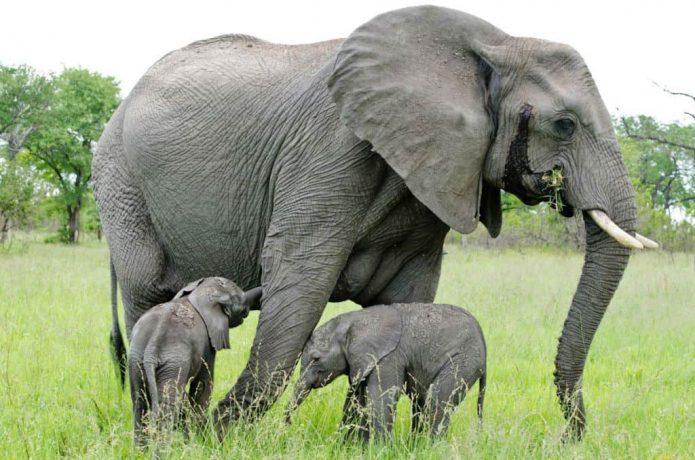 Слон с детёнышами