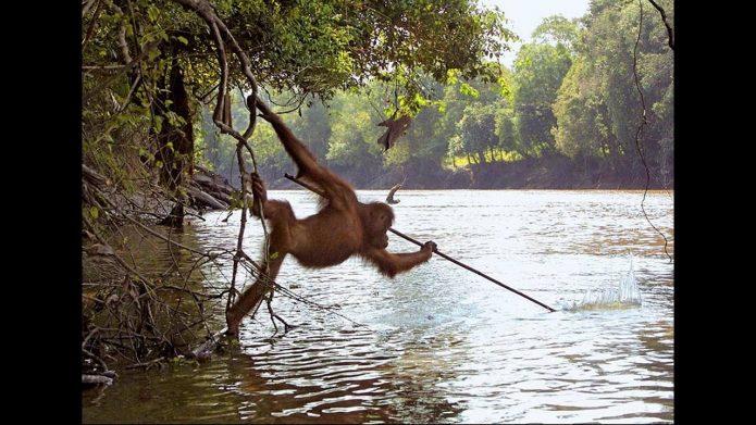 Орангутан ловит рыбу