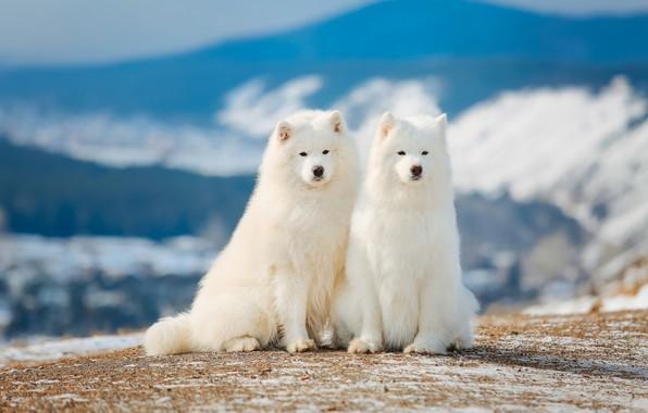 Собаки самоедской породы