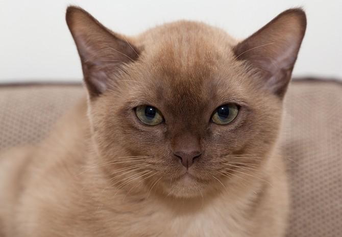 Мордочка бурманской кошки
