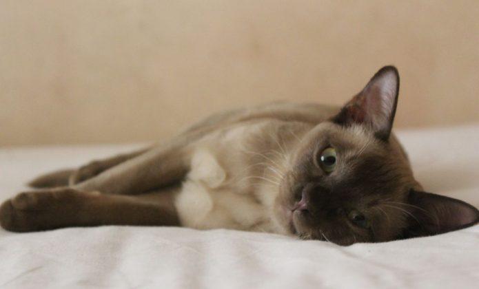 Бурманская кошка лежит