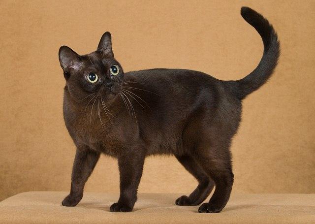 Бурманская кошка стоит