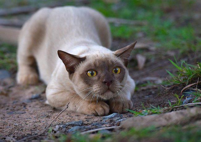 Бурманская кошка в засаде