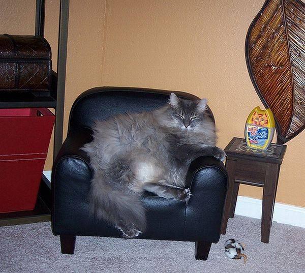 Толстый кот в кресле
